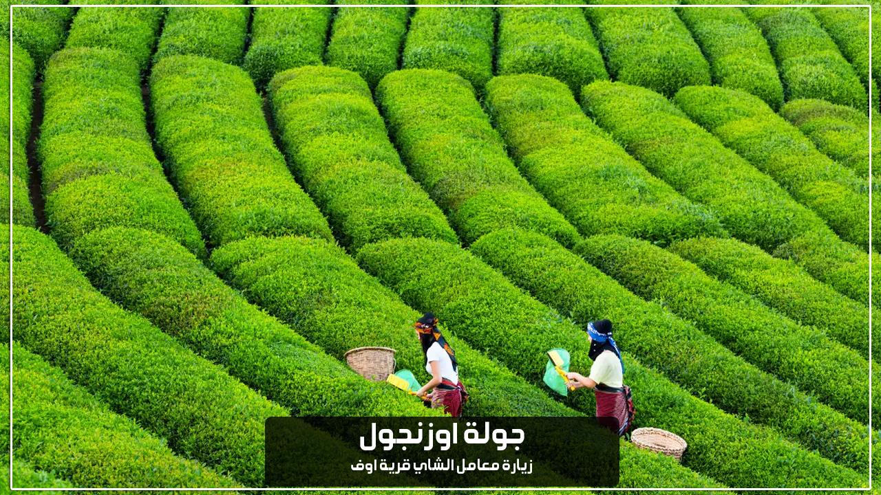زيارة معامل الشاي قرية اوف